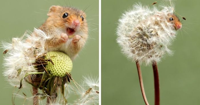 d9d9efdbbd4 35 Adorable Photos Of Harvest Mice Living Their Tiny Lives By Dean Mason