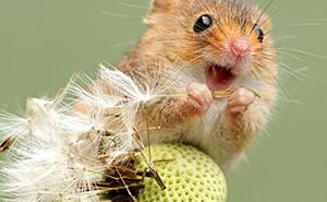 30 Adorables fotos de ratones espigueros haciendo su vida, por Dean Mason