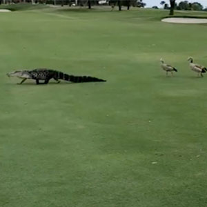 Angry Ducks Interrupt Golf Game By Chasing Alligator Down The Course