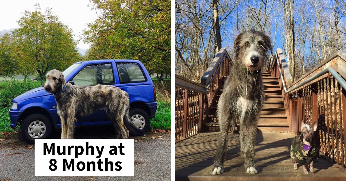 People Post Hilarious Photos Of Their Larger Than Life Irish Wolfhounds (86 Pics)