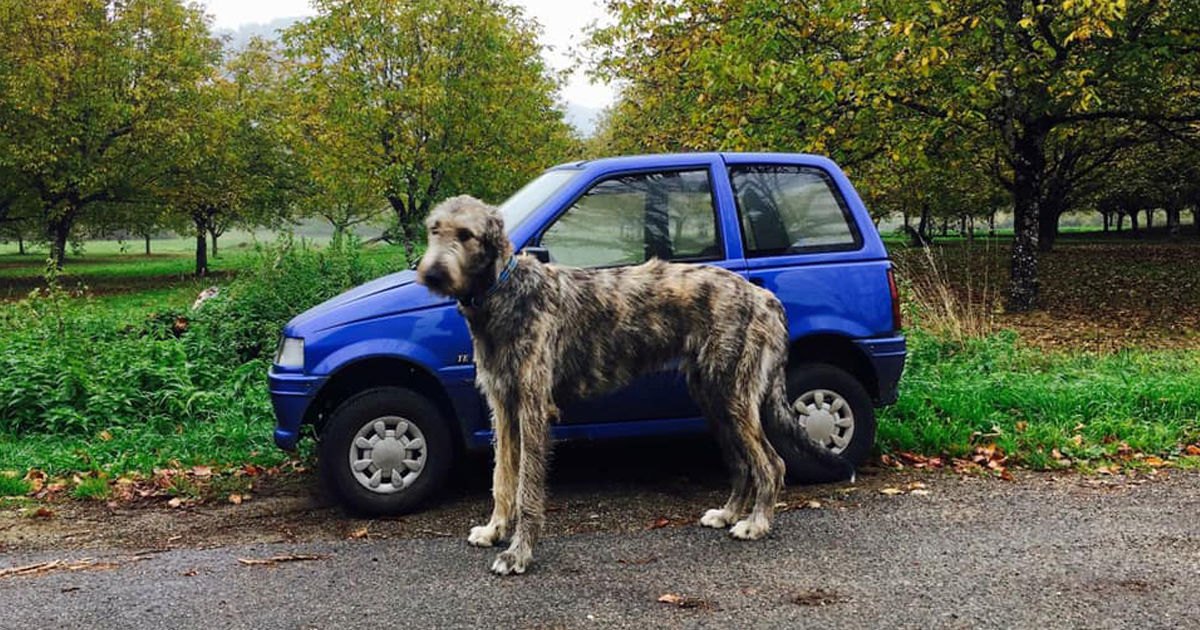 People Are Posting Hilarious Photos Of Their Irish Wolfhounds, And It's Crazy How Large They Are