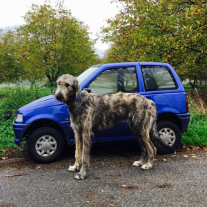 People Are Posting Hilarious Photos Of Their Irish Wolfhounds, And It's Crazy How Large They Are (38 New Pics)