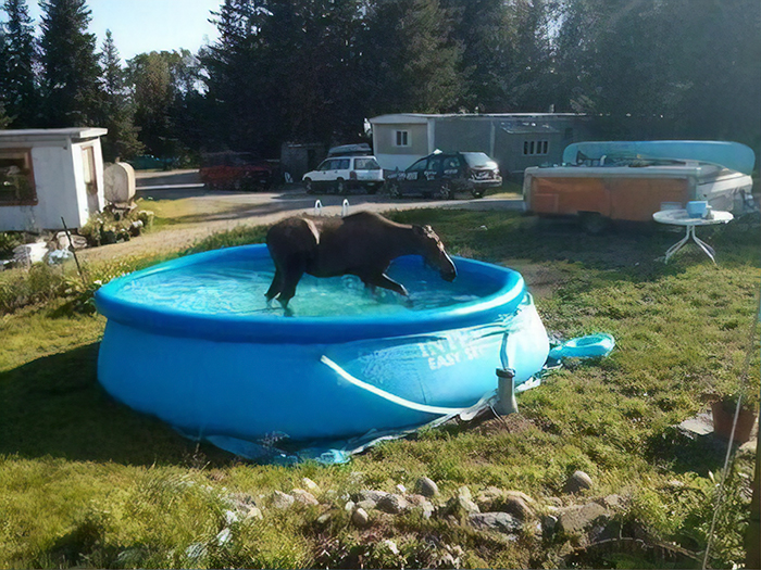 "I Just Got A Wrong Number Text From A Stranger That Said: ""Hey Can We Use Ur Pool There's A Moose In Ours"""