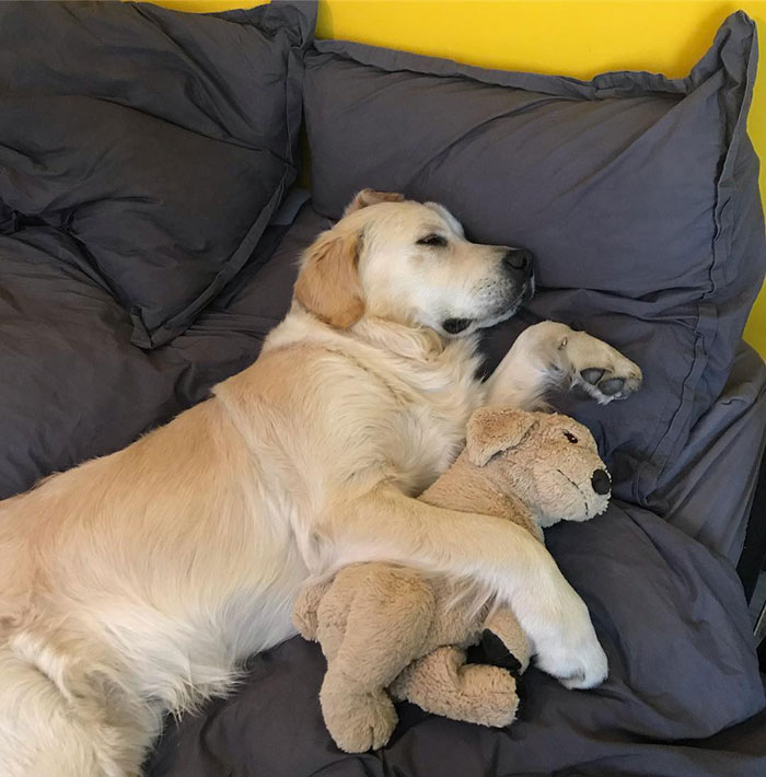 This Adorable Golden Retriever Can't Leave Home Without His Mini-Me Stuffed  Toy | Bored Panda