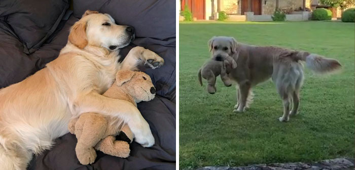 This Adorable Golden Retriever Can't Leave Home Without His Mini-Me Stuffed Toy