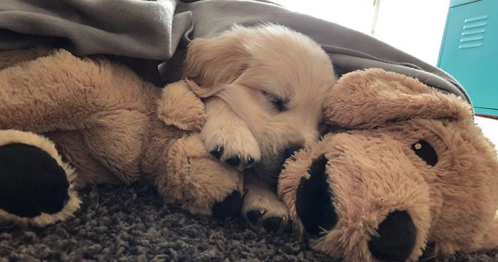Vintage Smokey The Bear Teddy Bear, This Adorable Golden Retriever Can T Leave Home Without His Mini Me Stuffed Toy Bored Panda