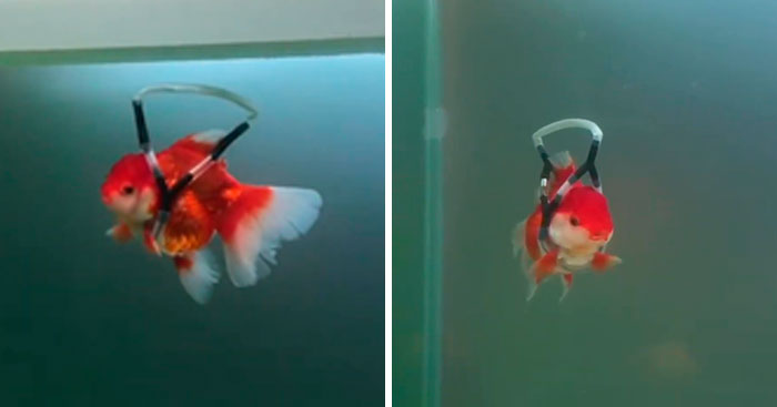 This Man Creates A Flotation Device To Save His Beloved Goldfish From Dying