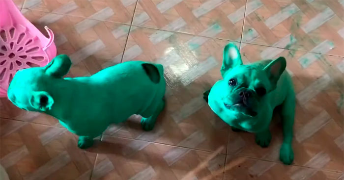 Two French Bulldogs Who Accidentally Cover Themselves In Green Become Viral
