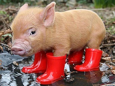 pig-in-rainboots-5d39ed45b3720.jpg