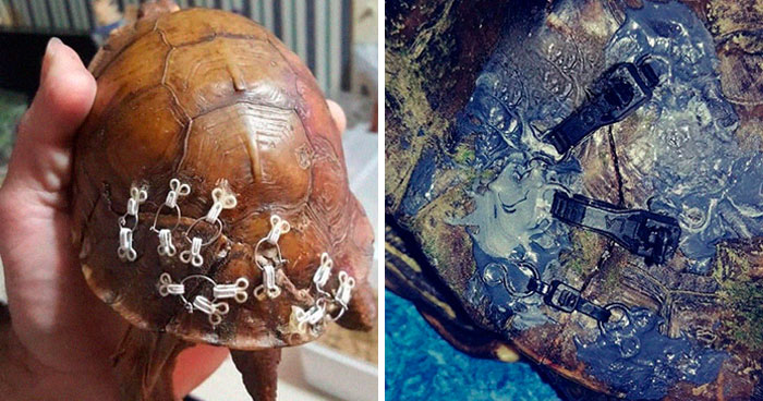 People Are Donating Their Old Bra Fasteners To Wildlife Organization That Uses Them To Save Turtles