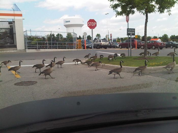 Just Minding My Own Business, When These Canadian Douchebags  Decided To Hold Up Traffic Strutting Around The Parking Lot Like They Own Damn Place