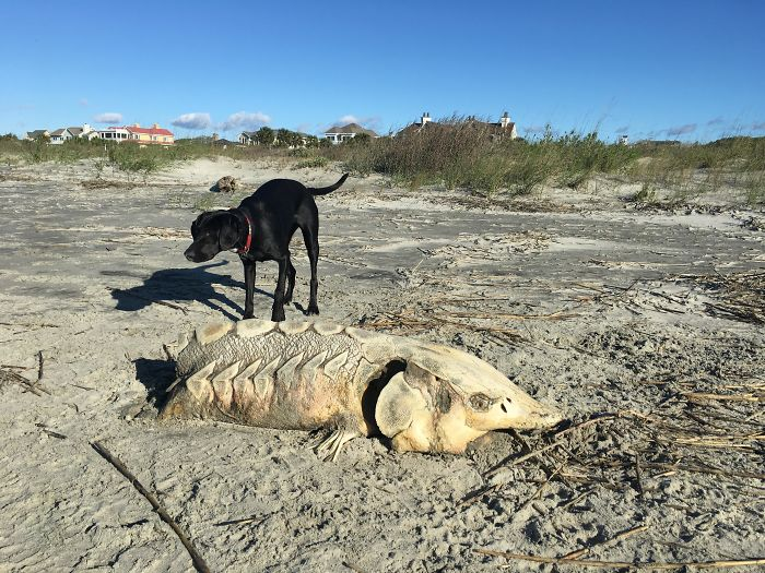 Bony Marine Skeleton Found On A Beach Near Charleston, Sc. About 3.5 Feet Long And Slightly Leathery In Some Places. Dog For Scale. What Is This Thing?