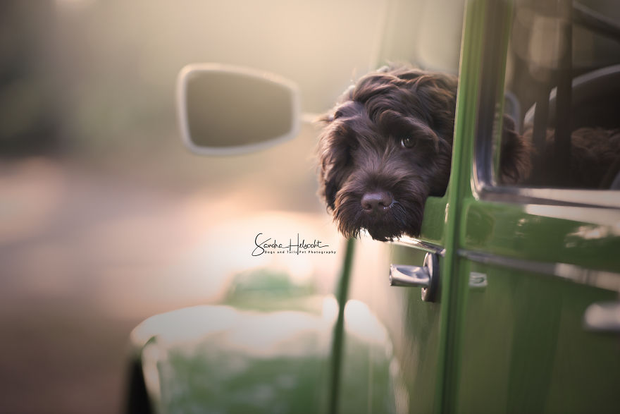 Labradoodle Puppy In His Owners 2cv