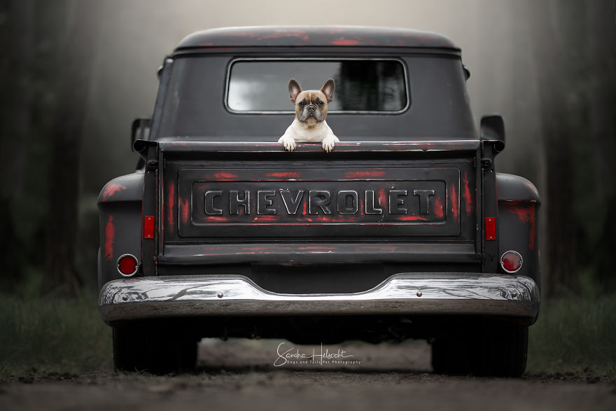 French Bulldog Loves To Sit In The Back Of The Pick-Up