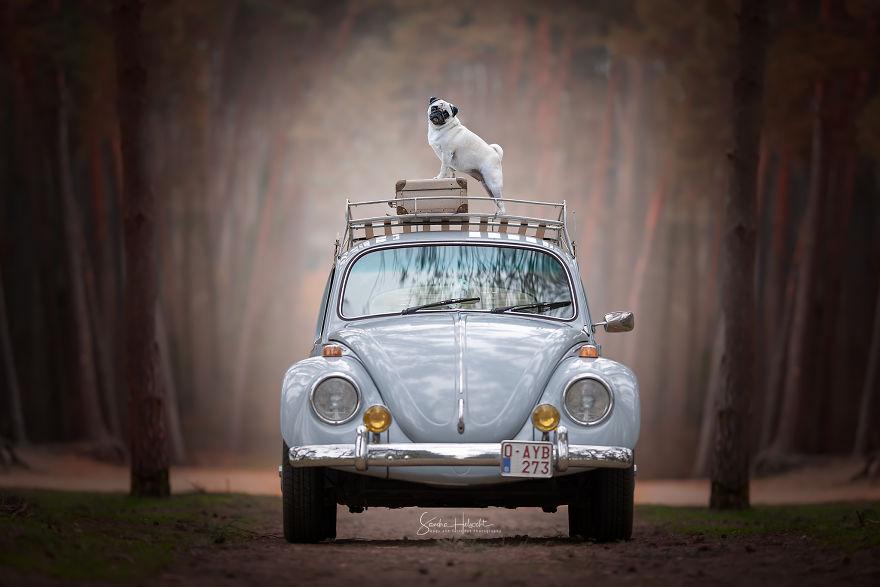 Pug & Bug Ready For Their Road Trip