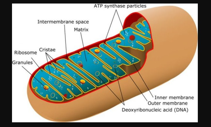 Going Strong: How Healthy Mitochondria Make For A Long, Active Life