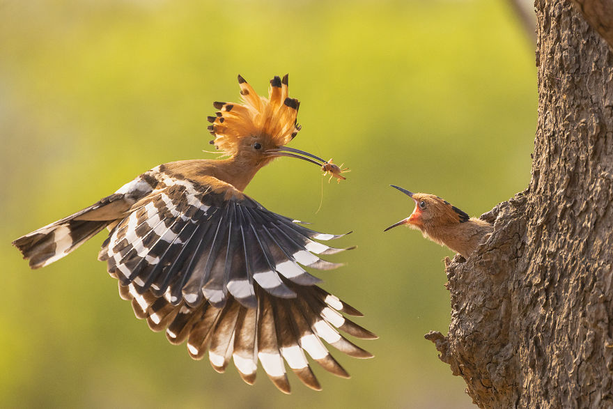 Hoopoe Bird Family