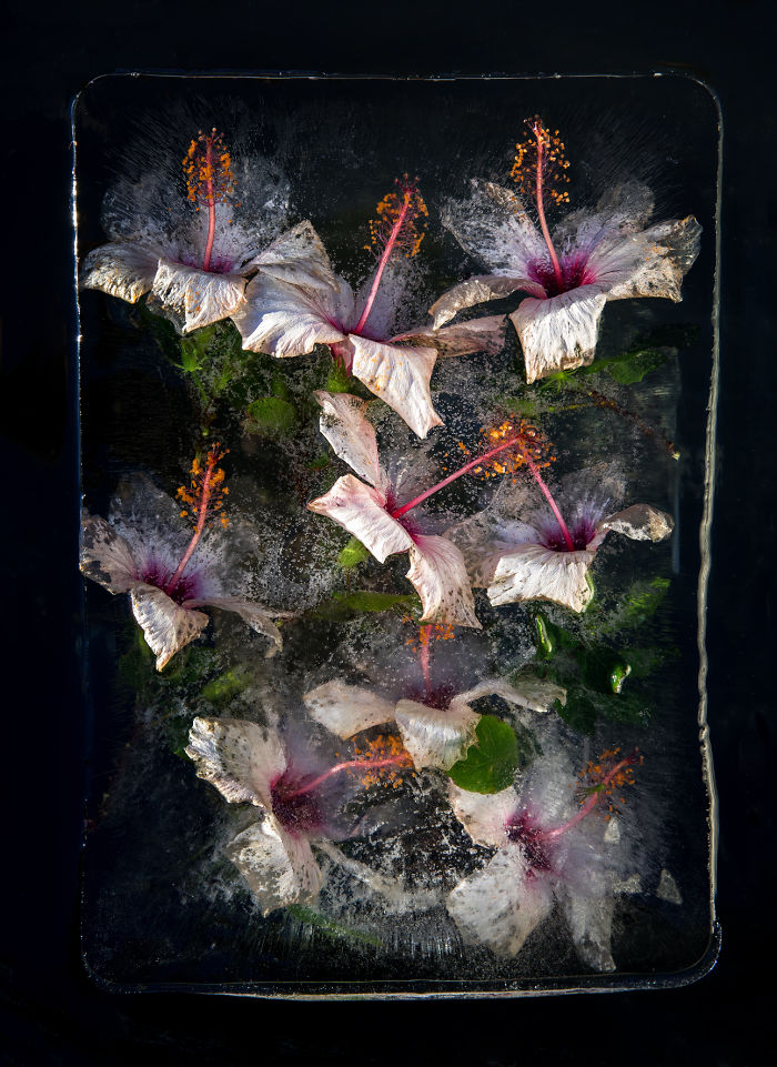 I Photograph Flowers In Ice