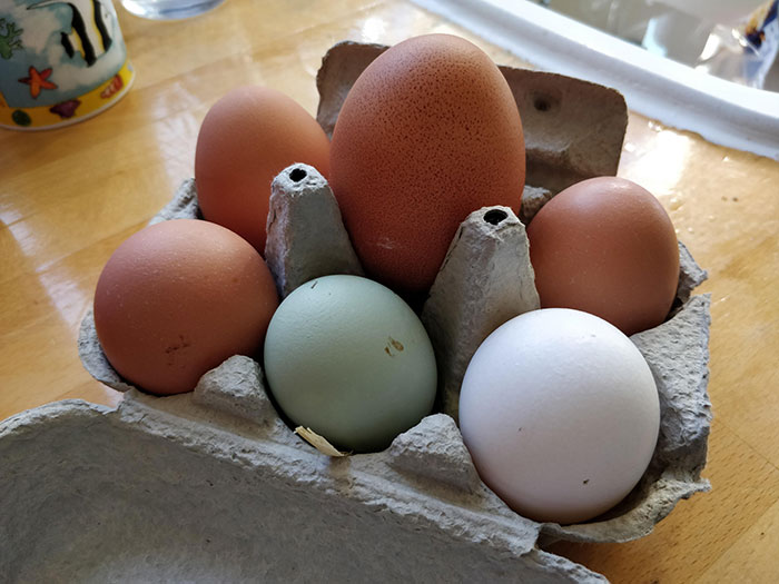 One Of Our Chickens Laid A Really Big Egg Today