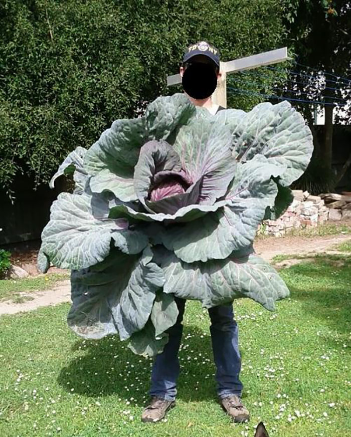 My Friend Grew A Gigantic Cabbage In His Garden