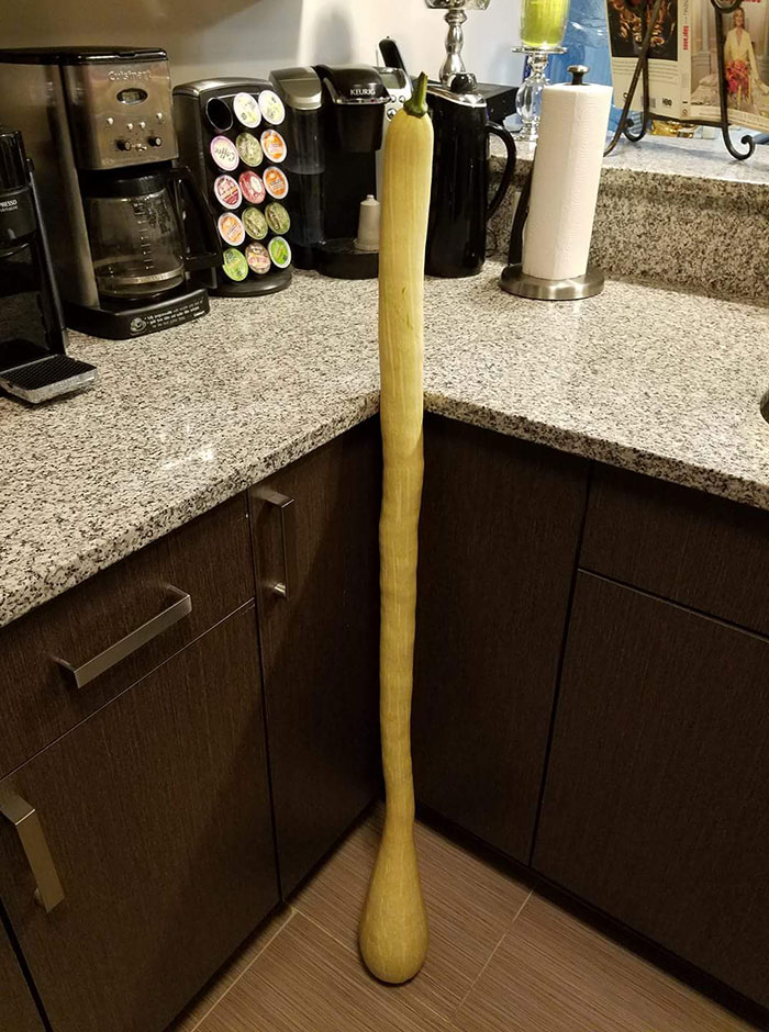 This Is A Four-Foot-Long Tromboncino Squash