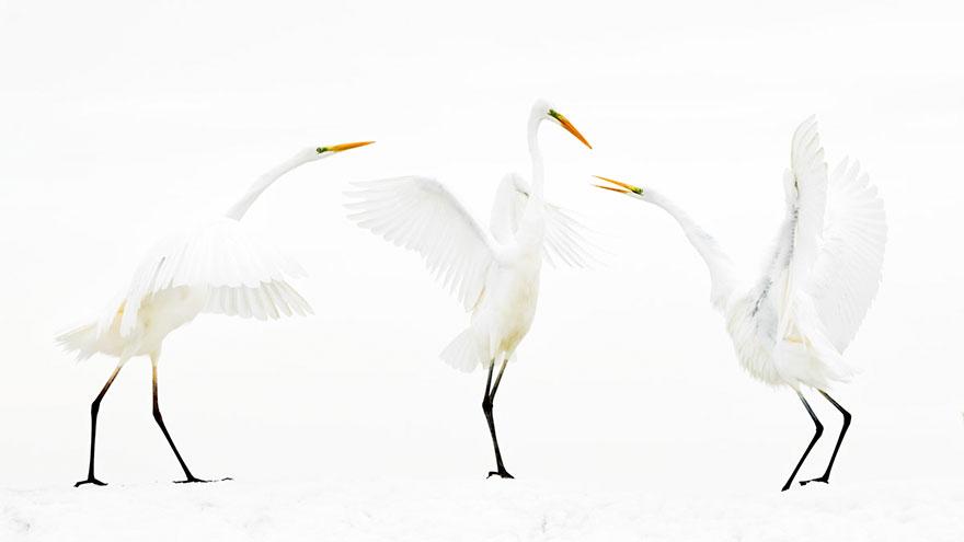 Bence Mate - Bird Behaviour - Honorable Mention