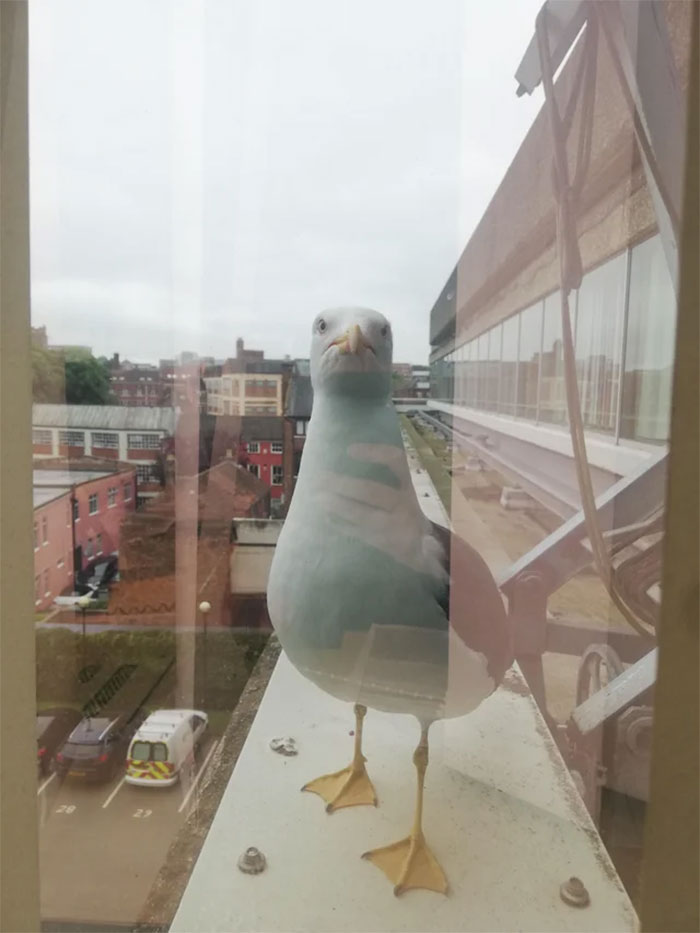 Keeps Pecking The Window And Shouting At Me While I'm Trying To Work. D**k