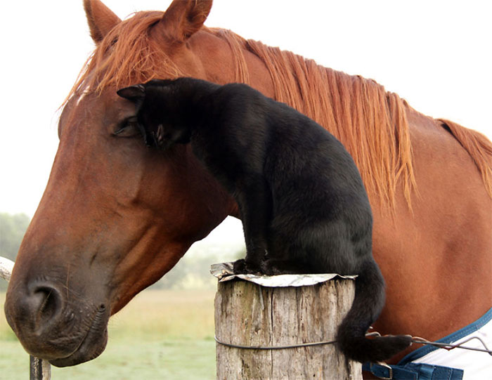 Here Are 22 Pics Of My Cat And Horse Who Have Been Inseparable Friends For The Last 6 Years