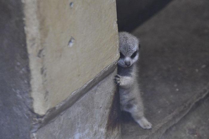 Фотографии маленького суриката