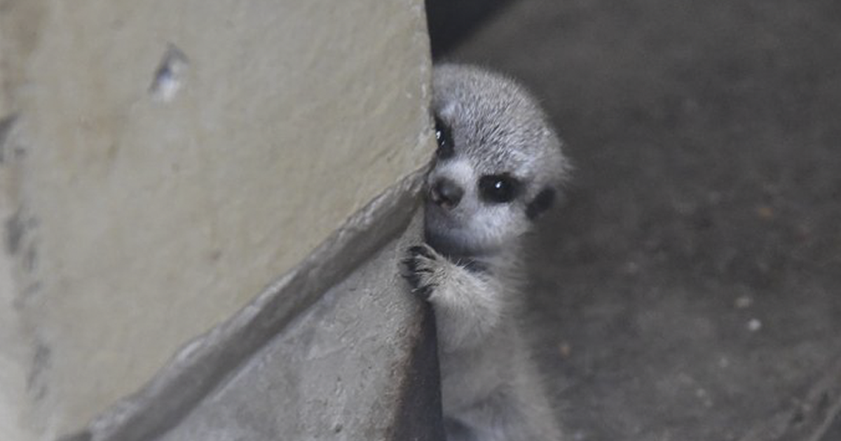 Japanese Photographer Snaps The Cutest Pics Of A Baby Meerkat And Its Parents (23 Pics)