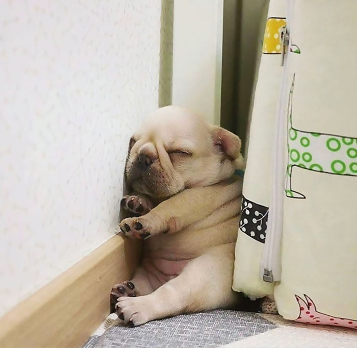 This Frenchie Puppy Sleeps Anywhere