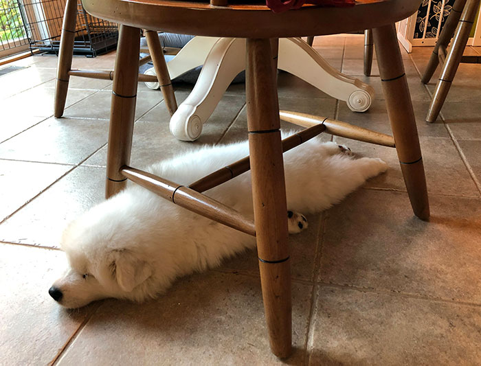 Ollie Only Sleeps Under Chairs