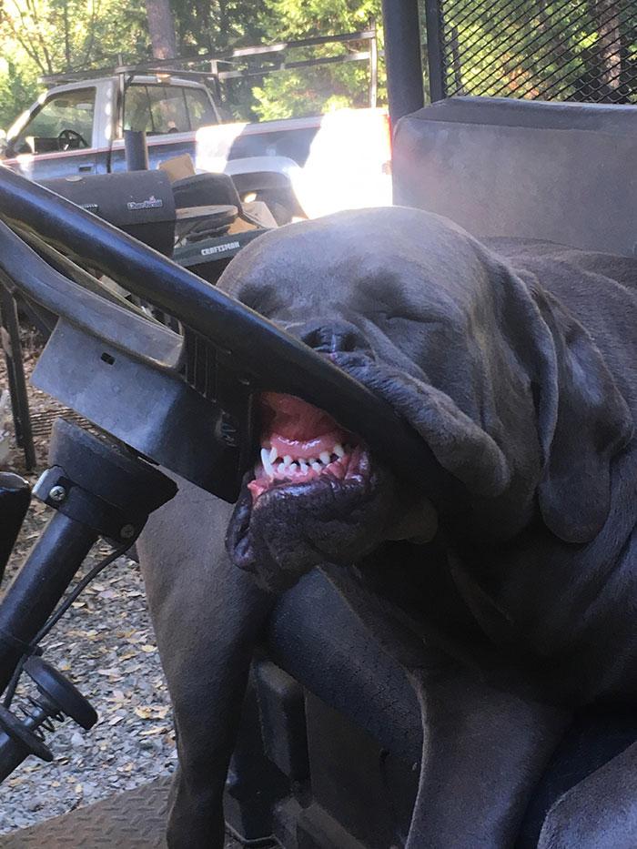 My Buddy's Dog Sleeping On The Mule Steering Wheel