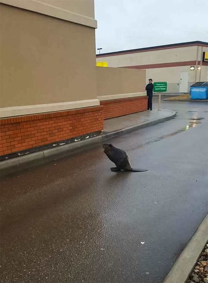 Only In Vancouver Does A Beaver Block The Tim Hortons Drive Through