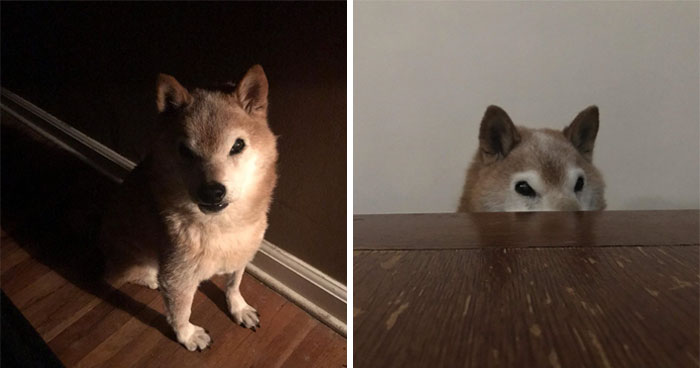 This Shiba Inu Always Looks Grumpy And People Are In Love
