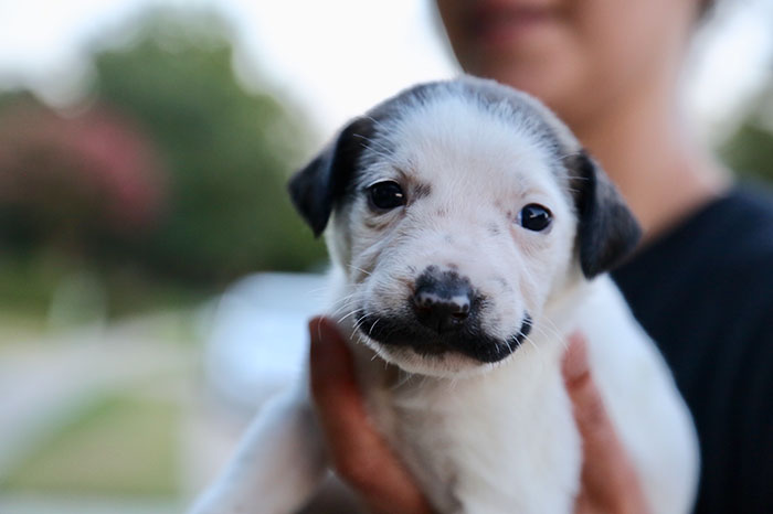 Meet Salvador Dolly, The Cutest Puppy With A Handlebar Mustache
