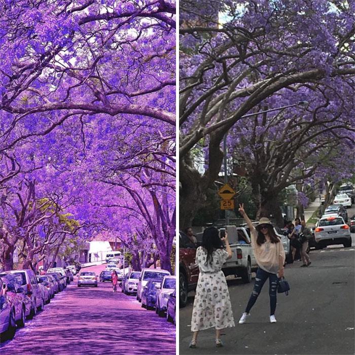 Jacaranda Trees, Insta vs. Reality