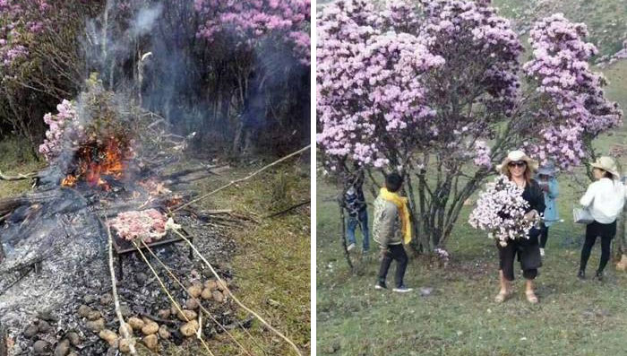 Tourists Destroy Beautiful Azalea Trees In Bloom In China: Some Even Use Branches For Barbecue