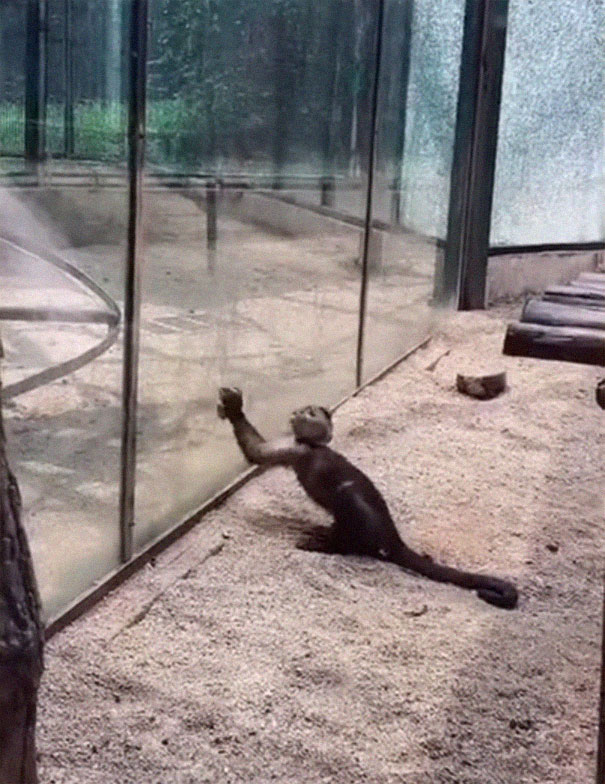 Zoo's Visitor Sees Monkey Sharpening A Rock, Later It Uses