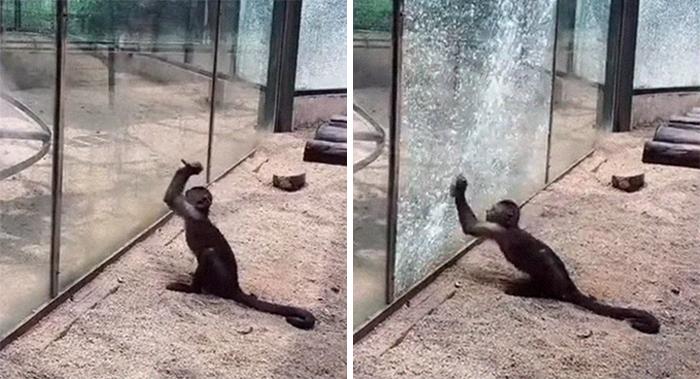 Un visitante del zoo vio a este mono afilando una roca y usándola luego para quebrar el recinto de cristal