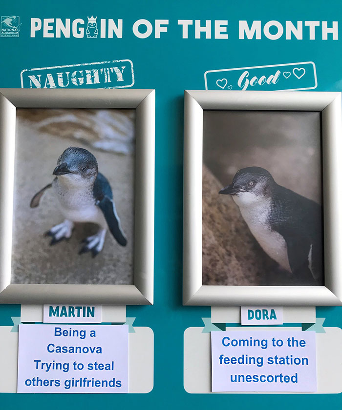 Naughty-Good-Penguin-Of-Month-National-Aquarium-New-Zealand