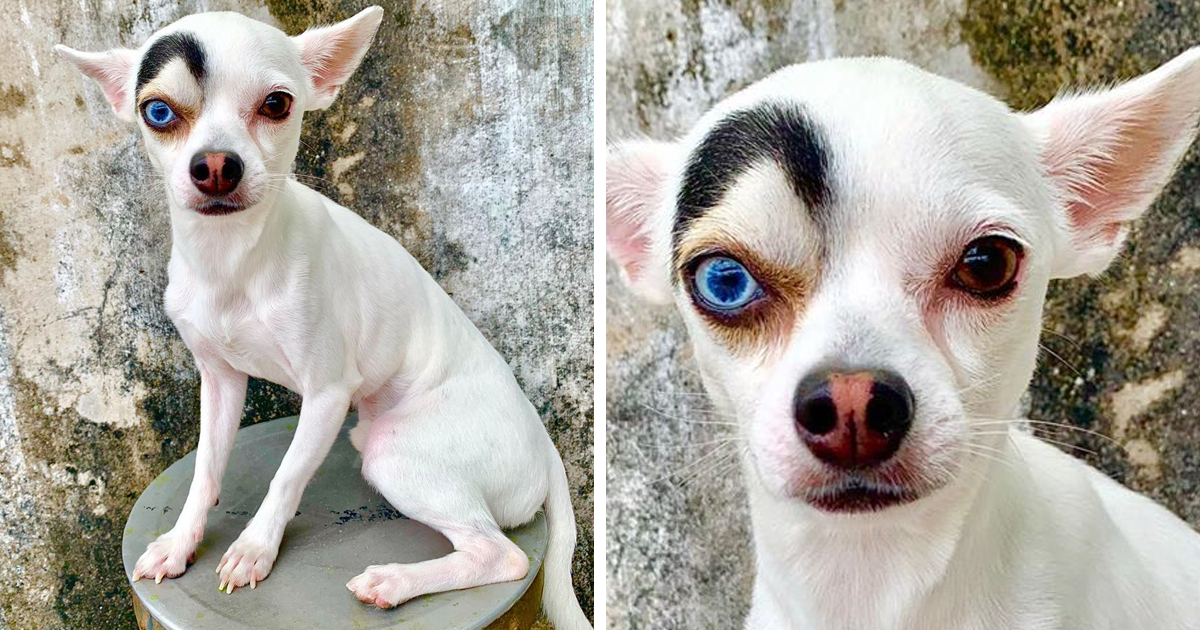This Unique-Looking Dog Has Different Colored Eyes And One Brow On Fleek