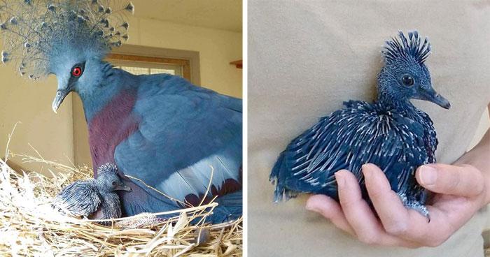 """""""Gura Victoria"""" es una de las aves más bellas y puede alcanzar el tamaño de un pavo"""