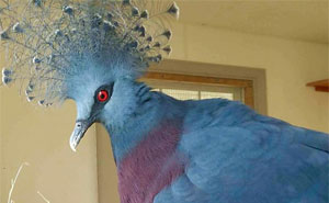 The 'Victoria Crowned Pigeon' Is One Of The Most Beautiful Birds Ever And Can Grow To The Size Of A Turkey