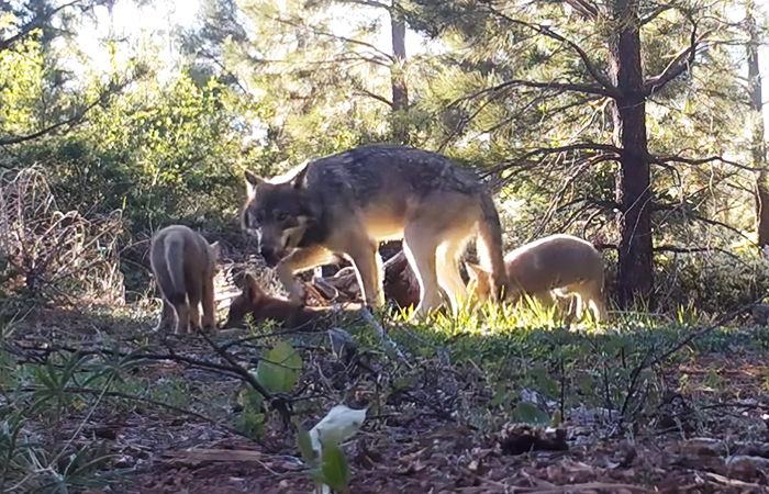 California's Last Gray Wolf Pack Just Surprised Everyone By Welcoming 3 New Pups