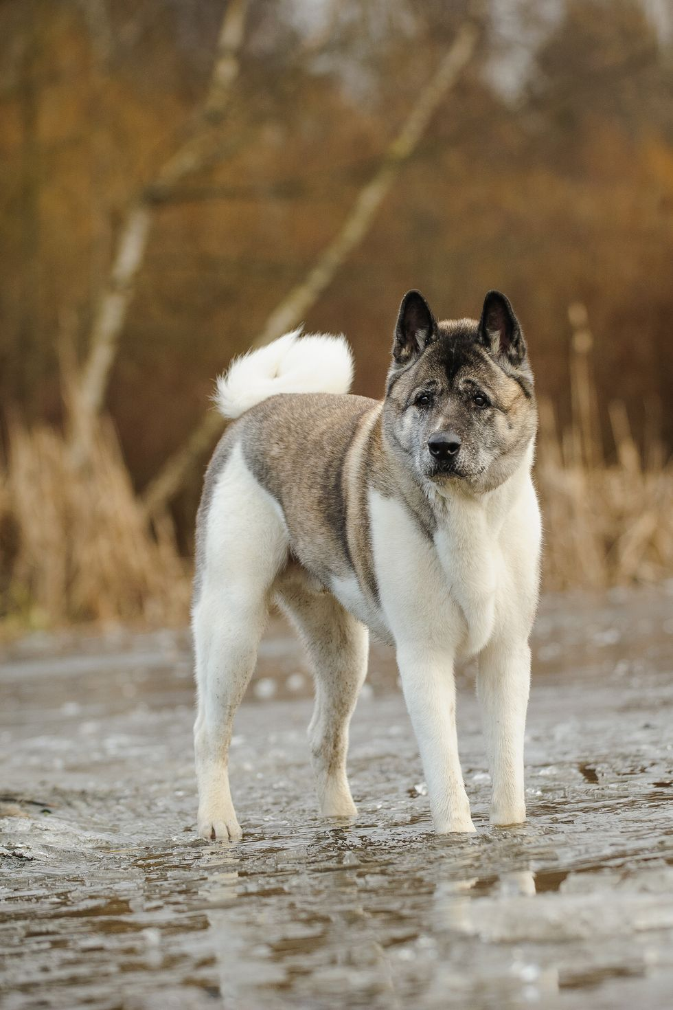 13 Best Guard Dogs to Protect Your Family and Home