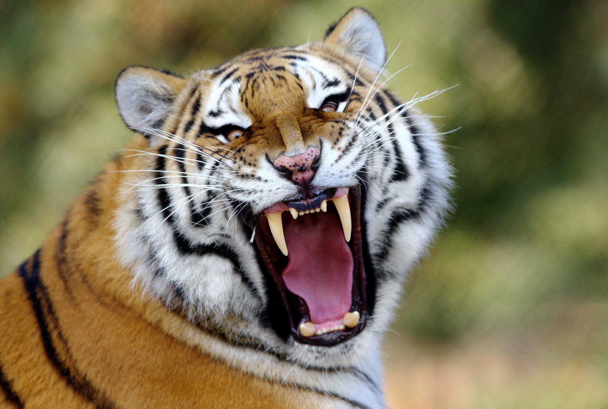 Protecting Amur Tigers