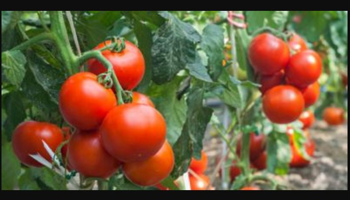 What Will Happen If You Put These 8 Things in Your TOMATO Planting Hole