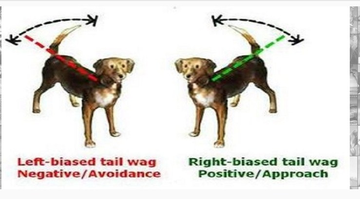 A Dog's Tail Relays Secret Information That Can Help You Understand It Better