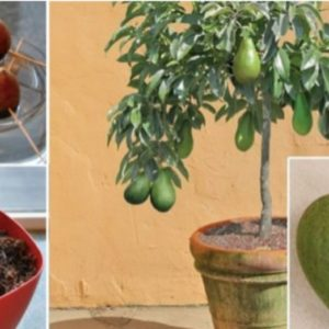 Grow Avocados in your Home